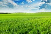 绿色的麦田和蓝多云的天空 — 图库照片