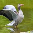 Goose with outstretched wings — Stockfoto