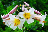 Lily flowers — Stock Photo