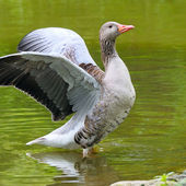 Goose with outstretched wings — Stock Photo