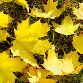 Yellow maple leaves on green grass in autumn — Stock Photo