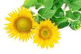 Sunflowers collection on the white background — Stock Photo