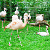 Pink flamingos at the zoological garden — Stock Photo