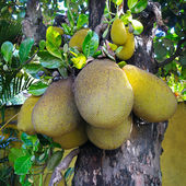 Ripe breadfruit — Stock Photo