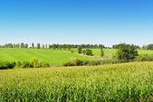 Campo di grano e il cielo blu — Foto Stock