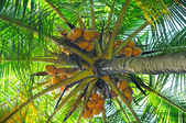 Coconut tree background — Stock fotografie
