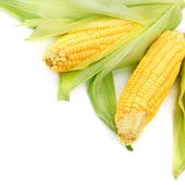 Corn cobs isolated on a white background — Stock Photo