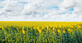 Field with blooming sunflowers and blue sky — Stock Photo