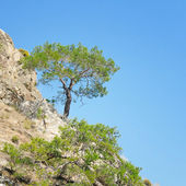 Pine on a mountainside and blue sky — Stock Photo