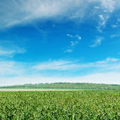 玉米田与嫩梢 — 图库照片