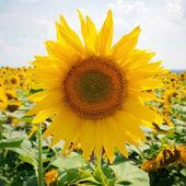 向日葵字段和蓝蓝的天空 — 图库照片