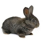 Black little rabbit isolated on white background — Stock Photo