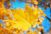 Maple leaf on blue sky background — Photo