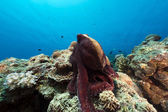Reef octopus (octopus cyaneus) in the Red Sea.  — Stock Photo