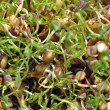 Lentil sprouts - Stock Photo