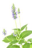 Chia flower — Stock Photo