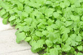 Mustard greens — Stock Photo