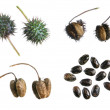 Castor bean propagation cycle — Stock Photo