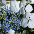 Hydrangea flower — Stock Photo