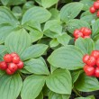 Red bunchberry — Stock Photo