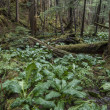 Southeast Alaska forest — Stockfoto