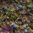 Bog blueberry — Stock Photo #34969703