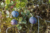 Bog blueberry — Stock Photo