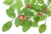 Red huckleberry — Stock Photo