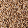 Sprouted wheat berries — Stock Photo