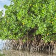 Mangroves in lagoon — Stock Photo #40494069