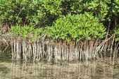 Young and mature mangroves — Stock Photo