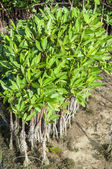 Young mangroves — Stock Photo