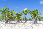 Young mangroves on beach — Stock Photo