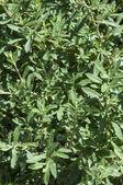 Black sage bush — Stock Photo
