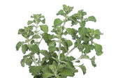Horehound herb — Stock Photo