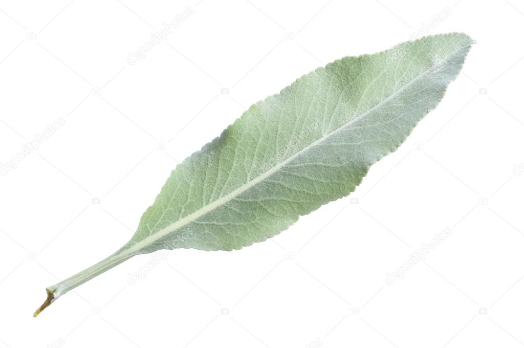 листья шалфея