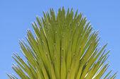 Mojave yucca — Stock Photo