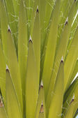 Mojave yucca closeup — Stock Photo