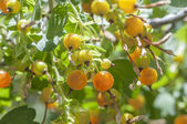 Golden currants — Stock Photo
