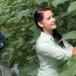 Harvest of cucumbers — Stock Video