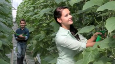Colheita de pepinos — Vídeo Stock