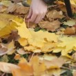 Stock Video: Gathering maple leaves