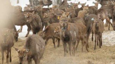 Deer farm — Stock Video