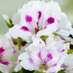 White amaryllises — Stock Photo