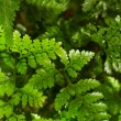 Fern — Stock Photo #38918207