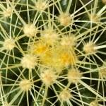 Cactus — Stock Photo #38918237