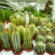Cacti — Stock Photo #38918249