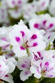 Beautiful amaryllises — Stock Photo