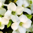 White flowers — Stockfoto #40668435