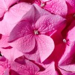 Stock Photo: Pink geranium
